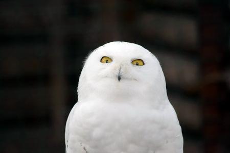 White Owl Nyctea Scandiaca Male