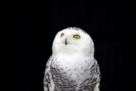 White Owl Nyctea Scandiaca Female