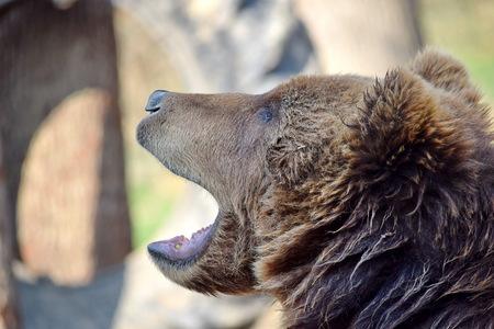 Brown Bear Ursus Arctos Beringianus Head Closeup Portrait Look Stock Photo