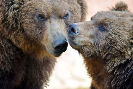 Brown Bear Couple Ursus Arctos Beringianus Head Closeup Portrait