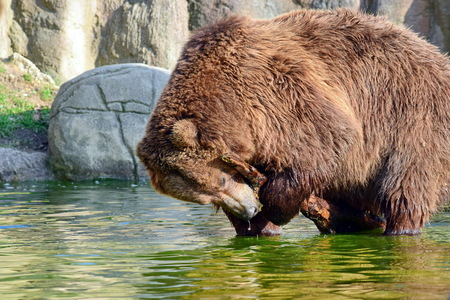 Brown Bear Ursus Arctos Beringianus Playing with Branxh in Water Portrait