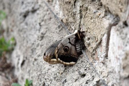 Emperor Moth Saturnia pavonia Closeup