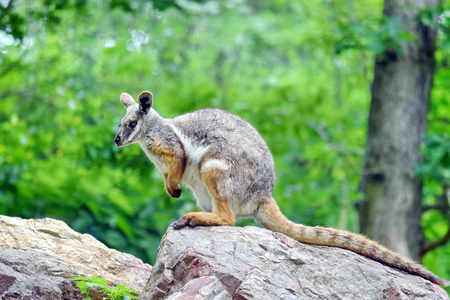 Kangaroo Petrogale Xanthopus Sitting on Rock 版權商用圖片