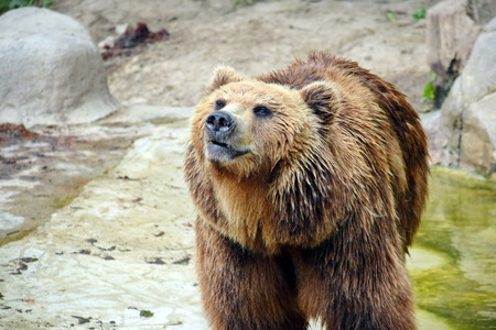 Brown Bear Ursus Arctos Beringianus