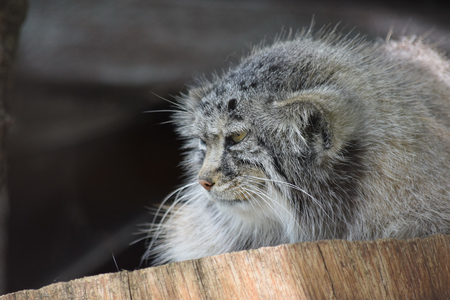 Otocolobus Manul Lying on Wooden Log and Watching 写真素材