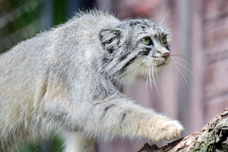 Wild Cat Otocolobus Manul Walking on Branch