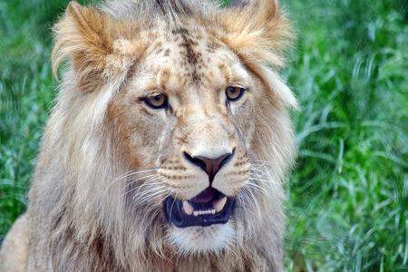Mężczyzna Katanga Głowa Lwa Zbliżenie Zdjęcie Seryjne