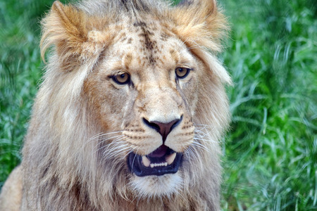 Primer plano de cabeza de león de Katanga macho Foto de archivo