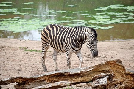 Chapman's Zebra Equus Quagga Chapmani by the Lake