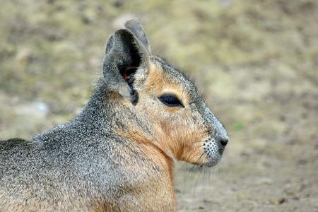 Exotic Hare Dolichotis Patagonum Closeup Lying on Ground Banco de Imagens