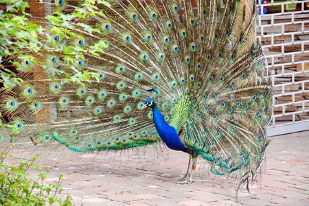 Peacock Pavo Cristatus with Outstretched Wings Walking