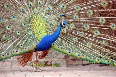 Peacock Pavo Cristatus with Outstretched Wings