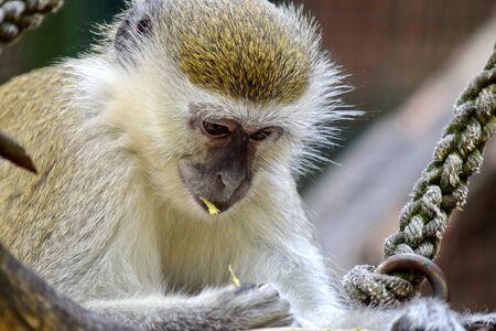 Green Monkey Chlorocebus Sabaeus Eating