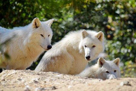 Group of White Arctic Wolf Canis Lupus Arctos on Rock 写真素材