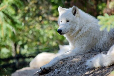 White Arctic Wolf Canis Lupus Arctos Lying on Rock