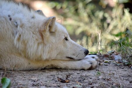 White Arctic Wolf Canis Lupus Arctos Resting in the Forest