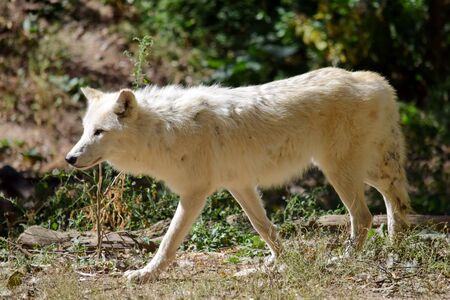White Arctic Wolf Canis Lupus Arctos in the Forest 写真素材