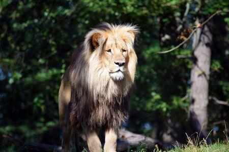 Beautiful Portrait of Katanga Lion Close up  in Nature