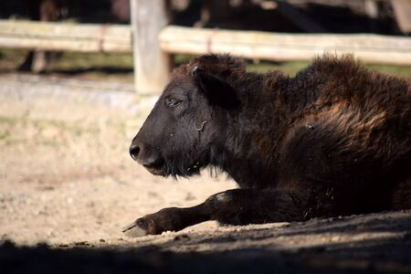 Bison Baby Lying Down and Resting