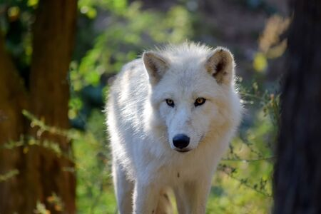 White Arctic Wolf in the Forest Portrait 写真素材