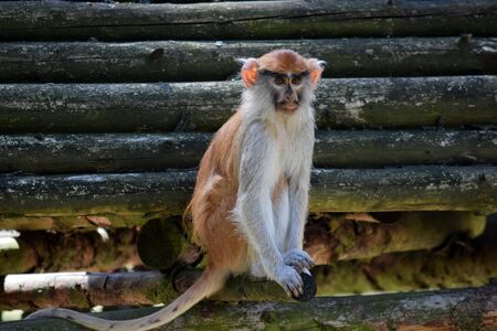 Patas Monkey Sitting on Wooden Log Portrait