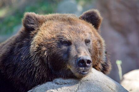 Cabeza de cerca retrato de hembra oso pardo
