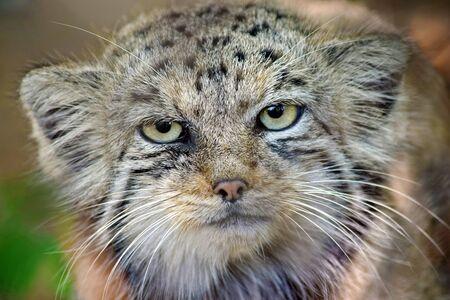 Wild Cat Otocolobus Manul Head Close Up Foto de archivo