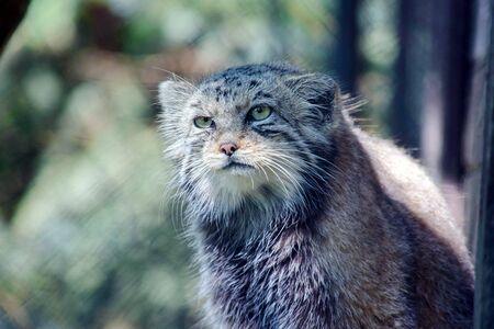 Wild Cat Otocolobus Manul Head Portrait Stock Photo