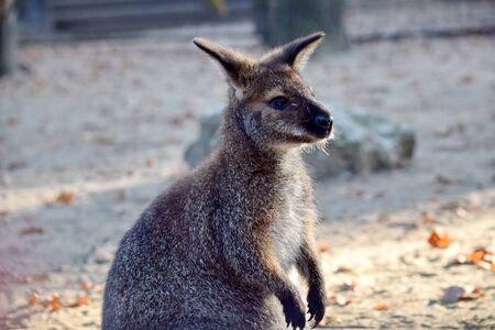 Perfil de cabeza de cachorro de Wallaby de cuello rojo cerrar