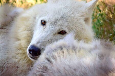 Lupo artico bianco da vicino sdraiato accanto all'altro