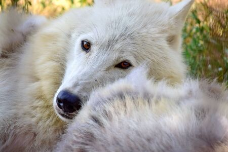 White Arctic Wolf Close Up Lying Next to Other