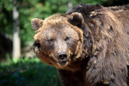 Brown Bear Ursus Arctos Beringianus Head Closeup Portrait