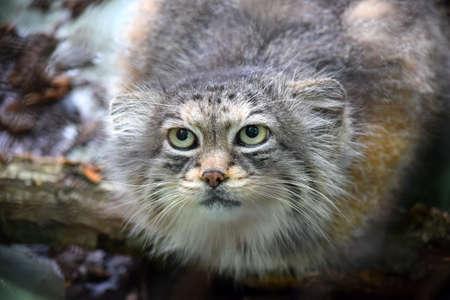Wild Cat Otocolobus Manul Lurking Foto de archivo