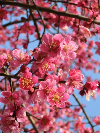 ume: go to see ume blossoms