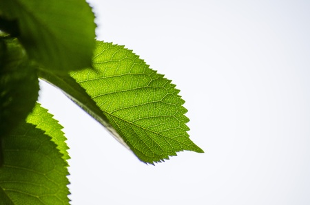 green leaf on a white background photo