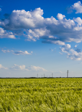 front or back yard: golden wheat field with blue sky before the storm. Stock Photo