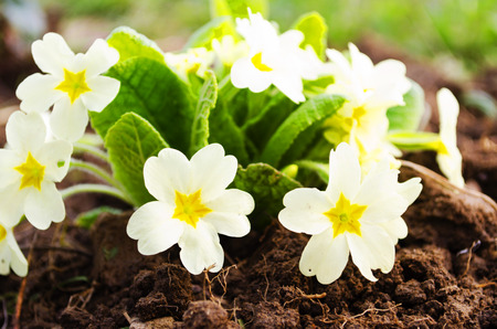 Early spring flowers on a background of soil photo