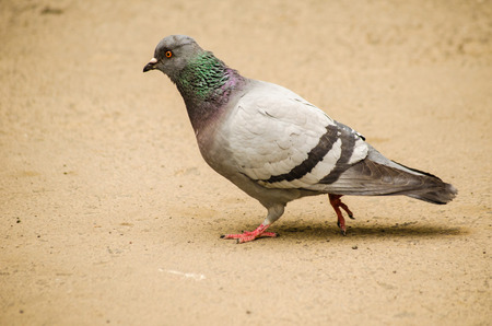 homing: Walk in the yard of a dove on a gray background Stock Photo