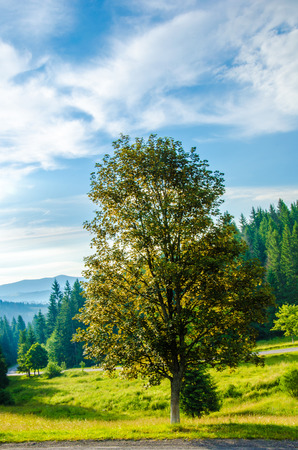 green tree backlit setting sun, green mountains with coniferous forest. Stock Photo