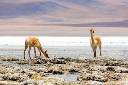 vicuna: Vicuna drinking water at the Canapa Lagoon in Bolivian Plateau
