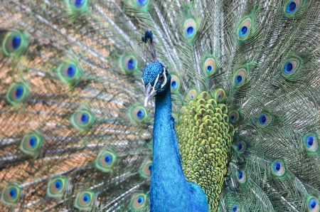 plumage: Peacock is displaying its plumage Stock Photo