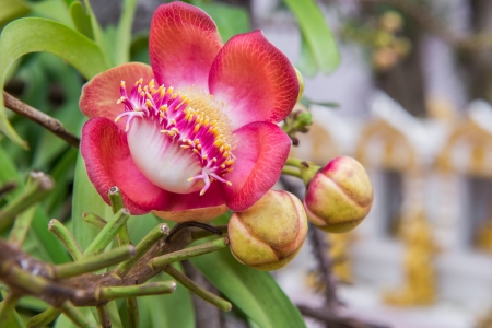 Cannonball tree flowers photo