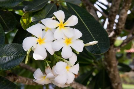 the group of plumeria Frangipani flower photo