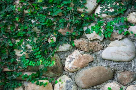 Rock wall and climber plant photo