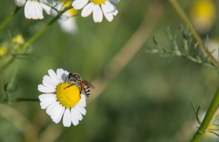 Bee and Little white flower with yellow pollen in garden photo