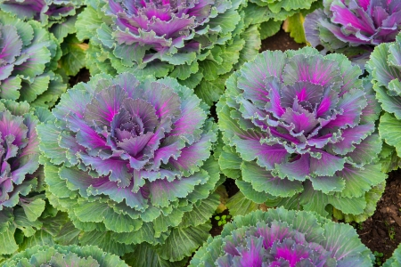 Fresh green and violet lettuce photo