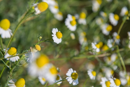 Little white flower with yellow pollen in garden photo