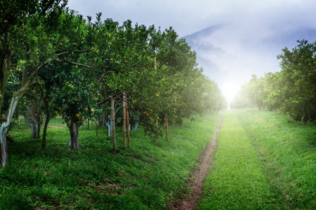 arbres fruitier: Oranger Jardin