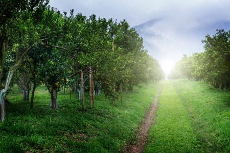 groene boom: Sinaasappelboom Tuin