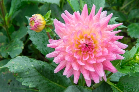 Pink Chrysanthemums flower photo